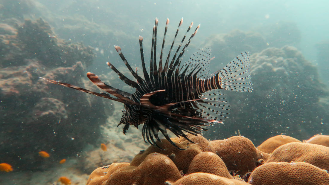 Lionfish Photo by Jack Percy