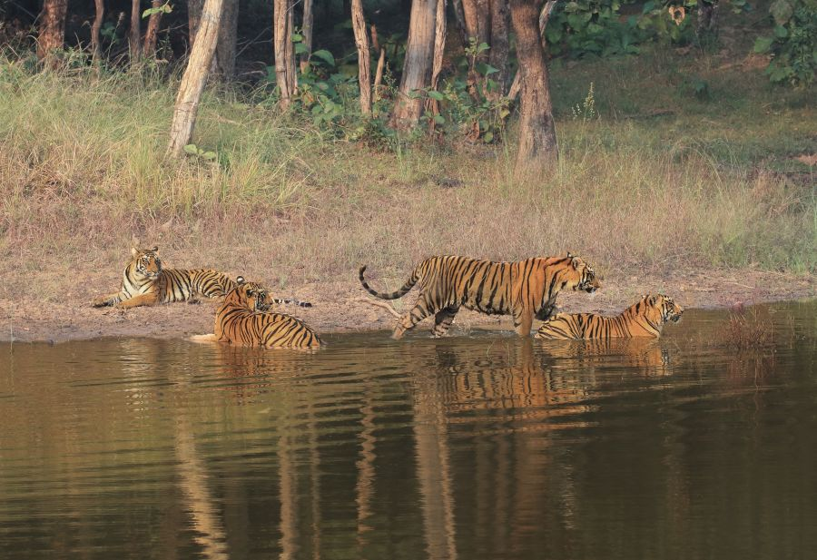alt-text Tiger Sarafri, Bori Wildlife Sanctuary