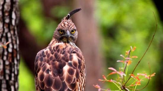 Crested Hawk Eagle E