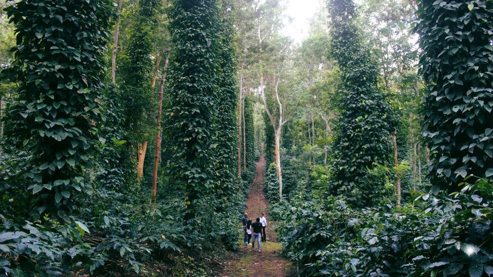 Coffee plantaion 3