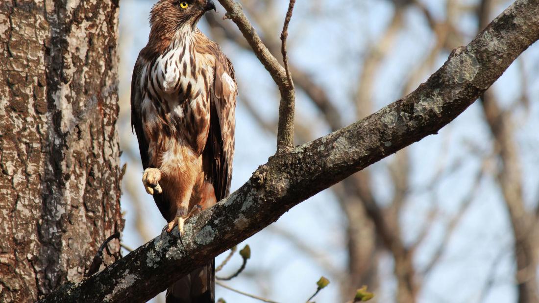 Tranquil Resort, Wayanad Wayanad Crested Serpent Hawk birdwatching Tranquil Resort Wayanad