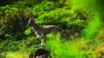 nilgiri thar at eravikulam national park munnar