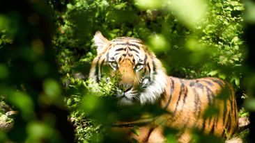 tiger-through-green-leaves-during-day-162306