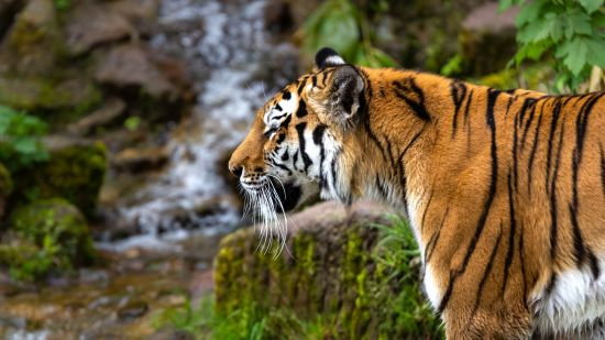 beautiful-shot-tiger-standing-forest-during-daytime
