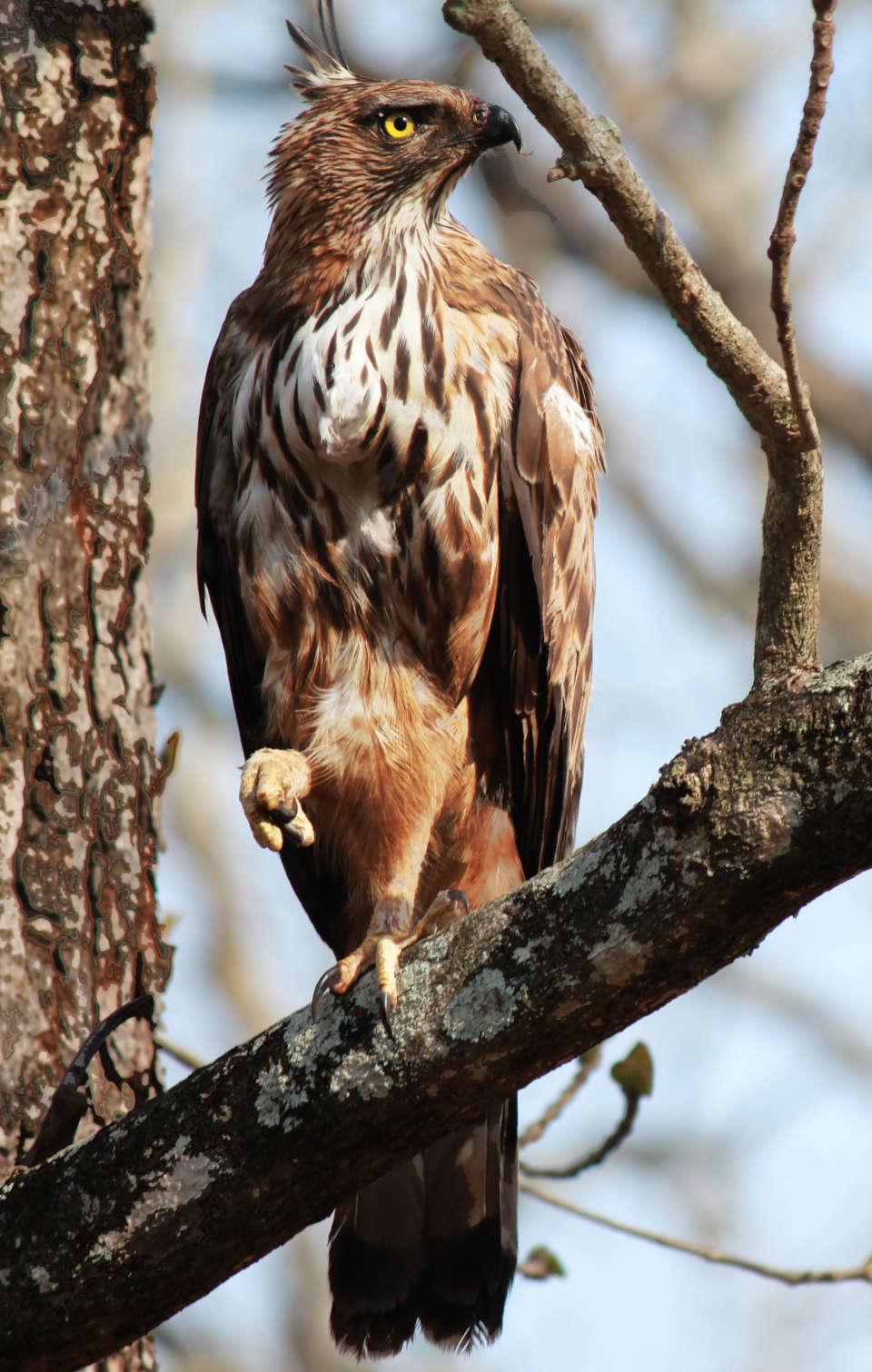 Tranquil Resort,  Wayanad Crested Serpent Hawk