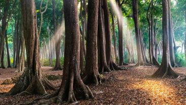 Mahua forest