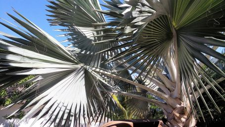 Palma Bismarkia