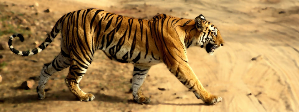 Tiger Camp Resort, Corbett Uttarakhand Bengal Tiger Corbett 8