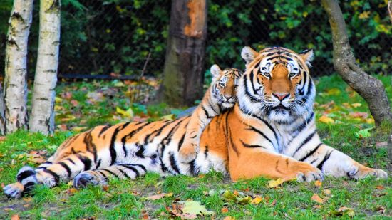 animal-animal-photography-big-cat-2541239