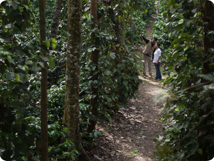 Coffee Plantation Walk
