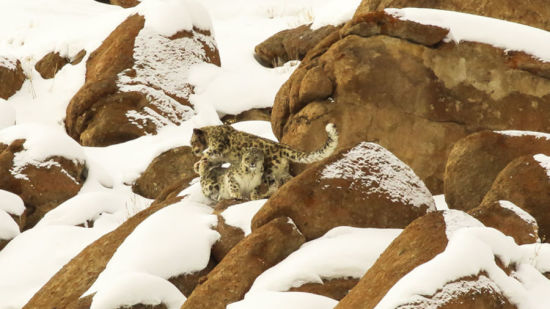 snow leopard expedition at Reni Pani Jungle Lodge in Hoshangabad xdrajk