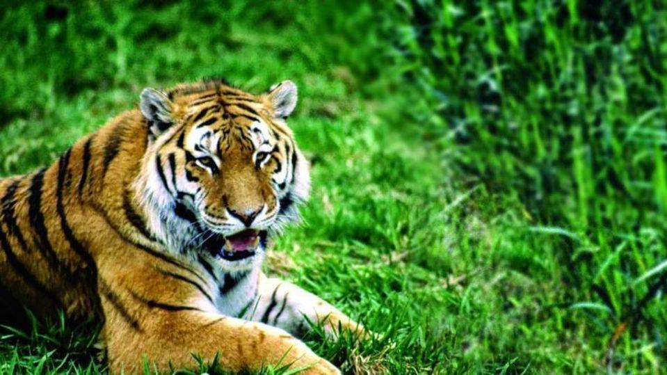 Tiger - The Hideaway River Lodge - Corbett Resort Corbett