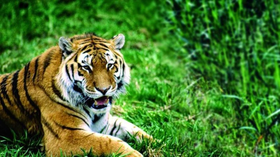 Tiger - The The Jamoon - Corbett Resort Corbett
