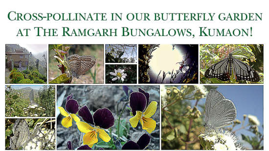 The Ramgarh Bungalows - 19th C, Kumaon Hills Kumaon Butterfly Garden