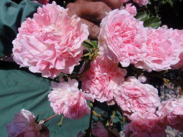 The Ramgarh Bungalows - 19th C, Kumaon Hills Kumaon Wild Rose