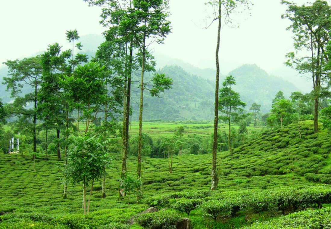 Central Hotels  darjeeling tea and its tea gardens central hotel resort darjeeling