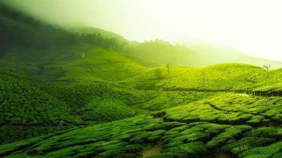 tea-plantation-2220475 1920