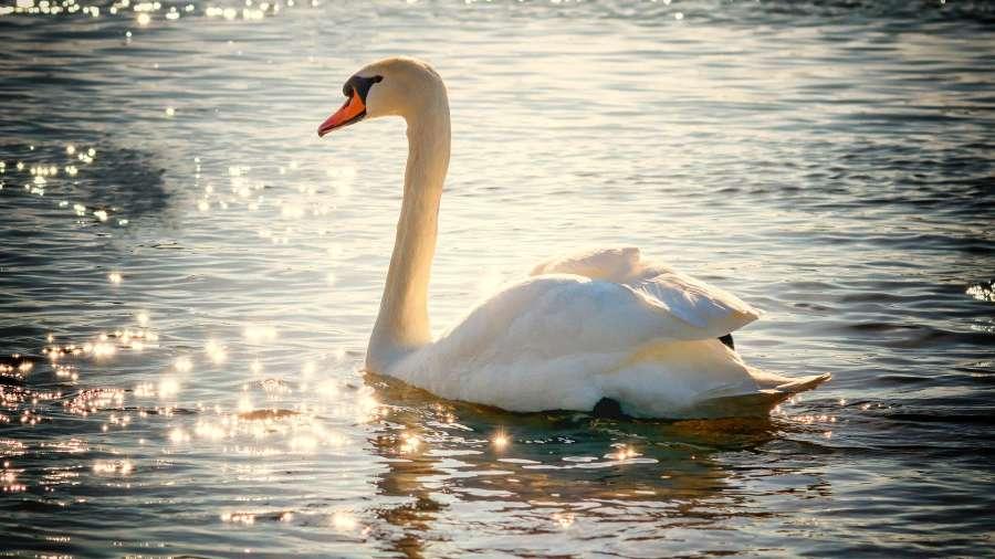 swan-2077219 1920