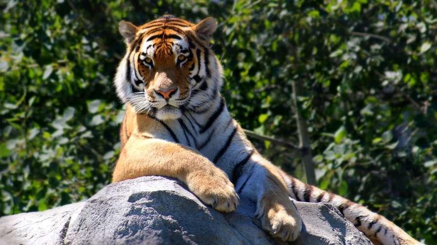 tiger-2196128 1920