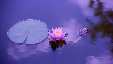 lotus-1205631 1920