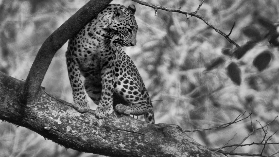 Pic12 Leopard by Santanu-Banik without-sig