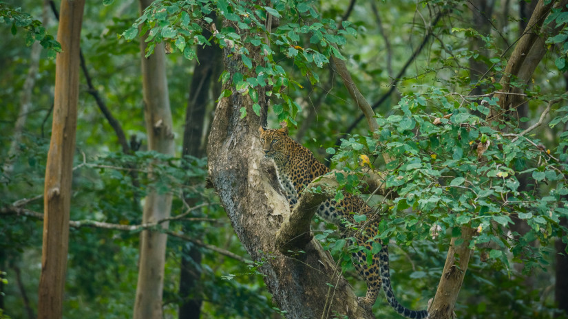Jaguar at Kabini Wildlife Sanctuary, Kabini Resort, The Serai Kabini, Best Riverside Resort