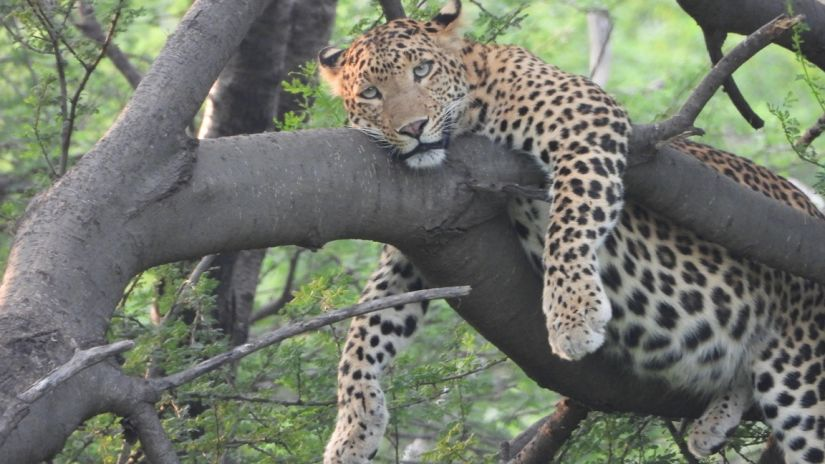 Leopard Images 12