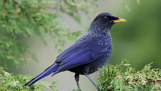 Bird Watching in Pangot