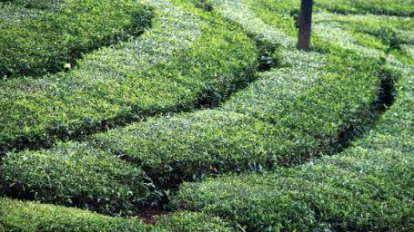 thekkady-tea-factory-visit