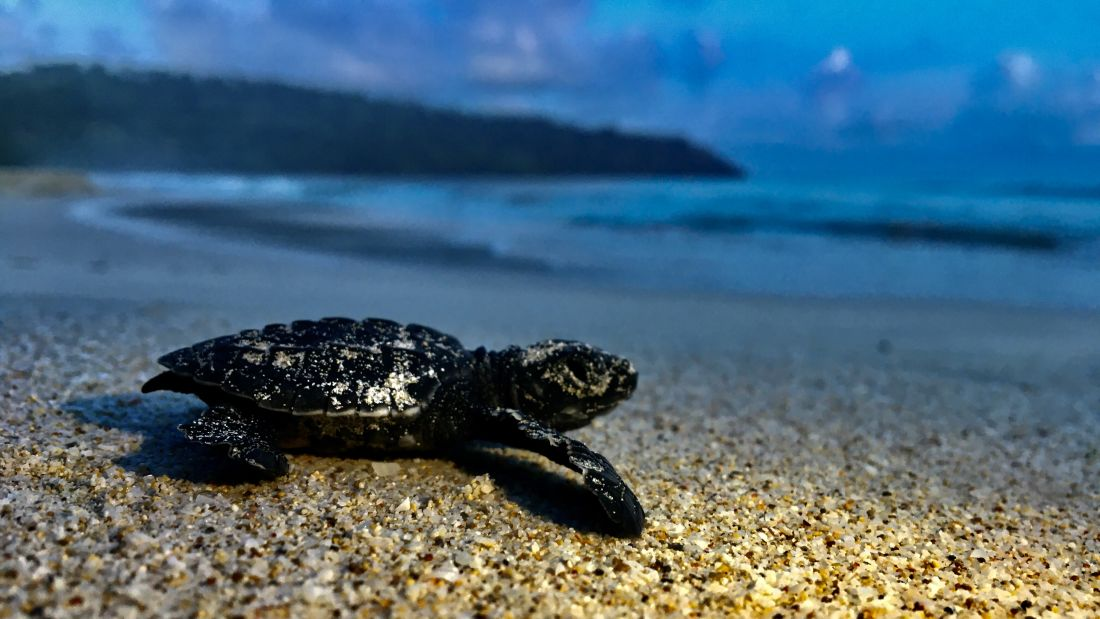 Baby Sea Turtle at Radhanagar Beach Havelock Island Photo by Vinod Bondi