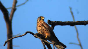 Common Kestrel Male -Bird-watching at Wild Brook Retreat, Rajaji National Park
