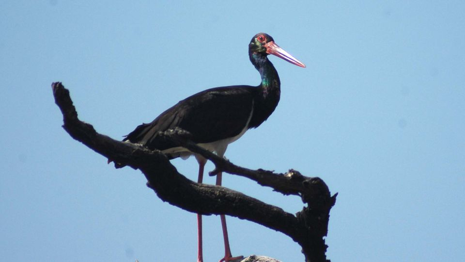 Black stork at Wild Brook Retreat, Rajaji National Park
