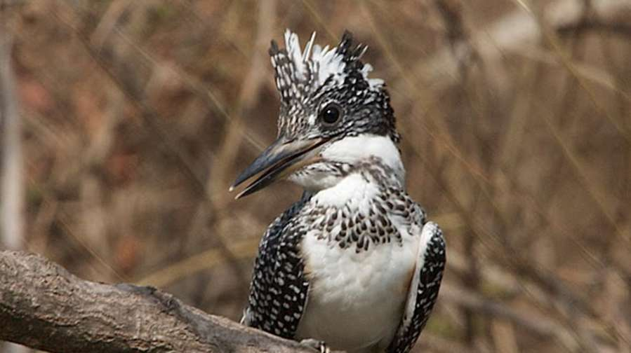 Crested Kingfisher -Bird-watching at Wild Brook Retreat, Rajaji National Park