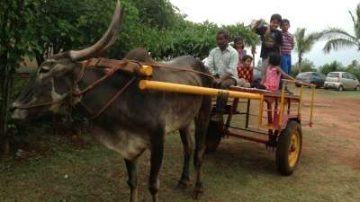 Bullock Cart Driving License Our Native Village