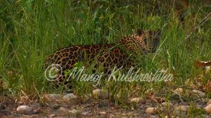 Sambhar and Panther at Rajaji nr