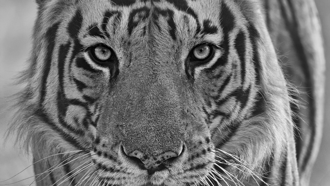 Pic15 Tiger by Santanu-Banik without-sig