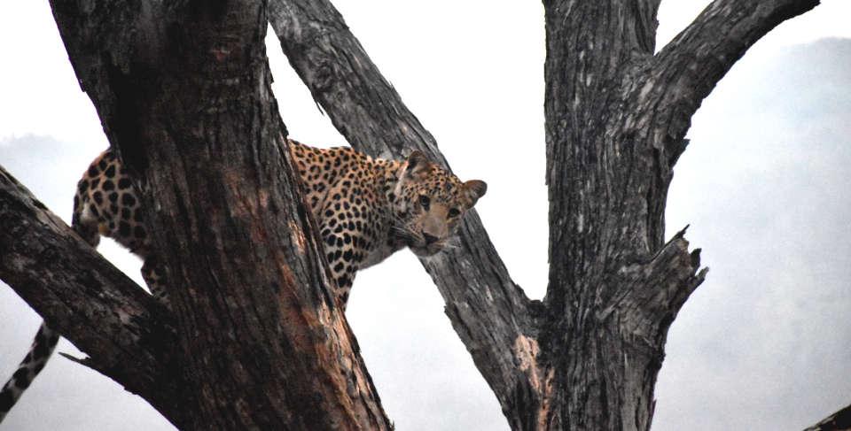 Jhalana Leopard Spotting Safari Package at Clarks Amer, Jaipur