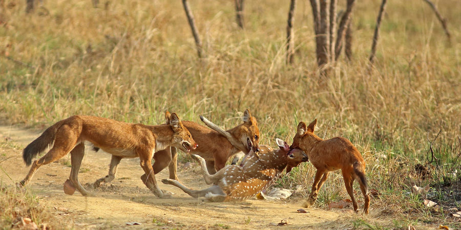 alt-text 4X4 Game Drive 1, Wild Dogs at Satpura National Park, Wildlife Safari at Satpura National Park, Wildlife Sanctuary close to our resort in Satpura, Drive through the Satpura National Park, Satpura Resort, Jungle resorts in Madhya Pradesh, Forest resorts in