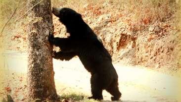 Sloth Bear kanha