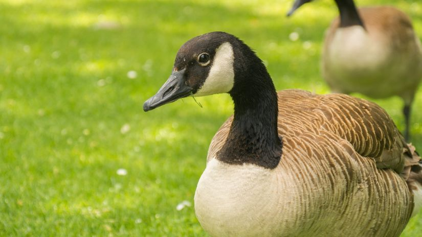 geese-3674706 1920