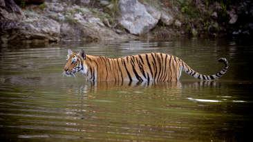 Tiger in corbett