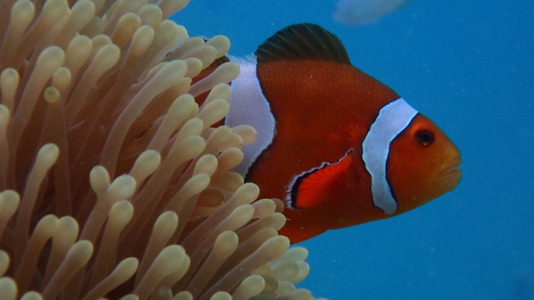 Nemo Clownfish in Andaman Sea Photo by Avi Singh