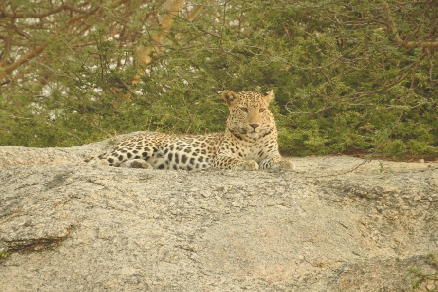 alt-text Jawai Bandh Leopard COnservation Centre