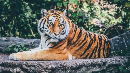 wide-selective-focus-shot-orange-tiger-rocky-surface