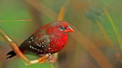 Strawberry Finch-Reni Pani Jungle Lodge-things to do in satpura