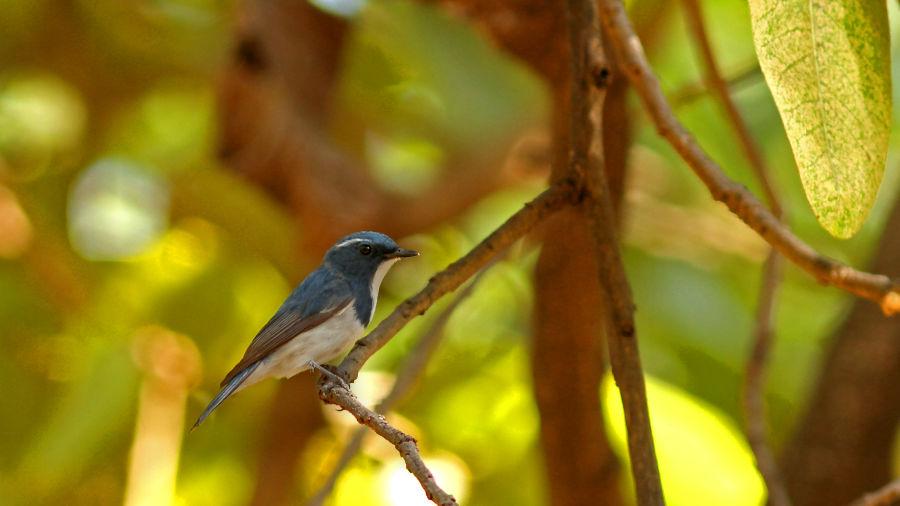 Ultra Marine Flycatcher-Reni Pani Jungle Lodge-bird watching at reni pani