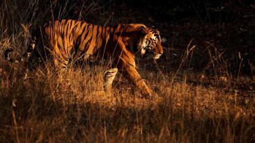 Tiger at Bandipur National Park, The Serai Bandipur,  Resorts In Bandipur, Bandipur Jungle Resort 13