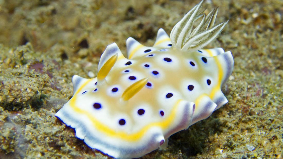 Gem sea slug Photo by Karin Brussaard