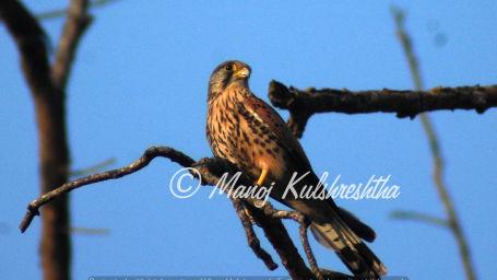 Common Kestrel Male 1