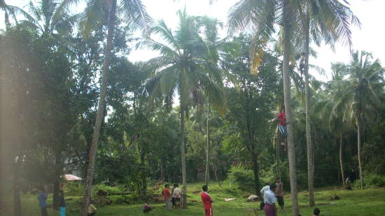 Lotus Beach Resort, Murud Beach, Ratnagiri Ratnagiri Coconut tree climbing